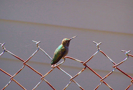 Image of a hummingbird sitting on a chain link fence