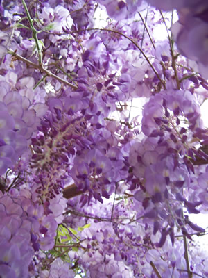 Levendar Flowers
