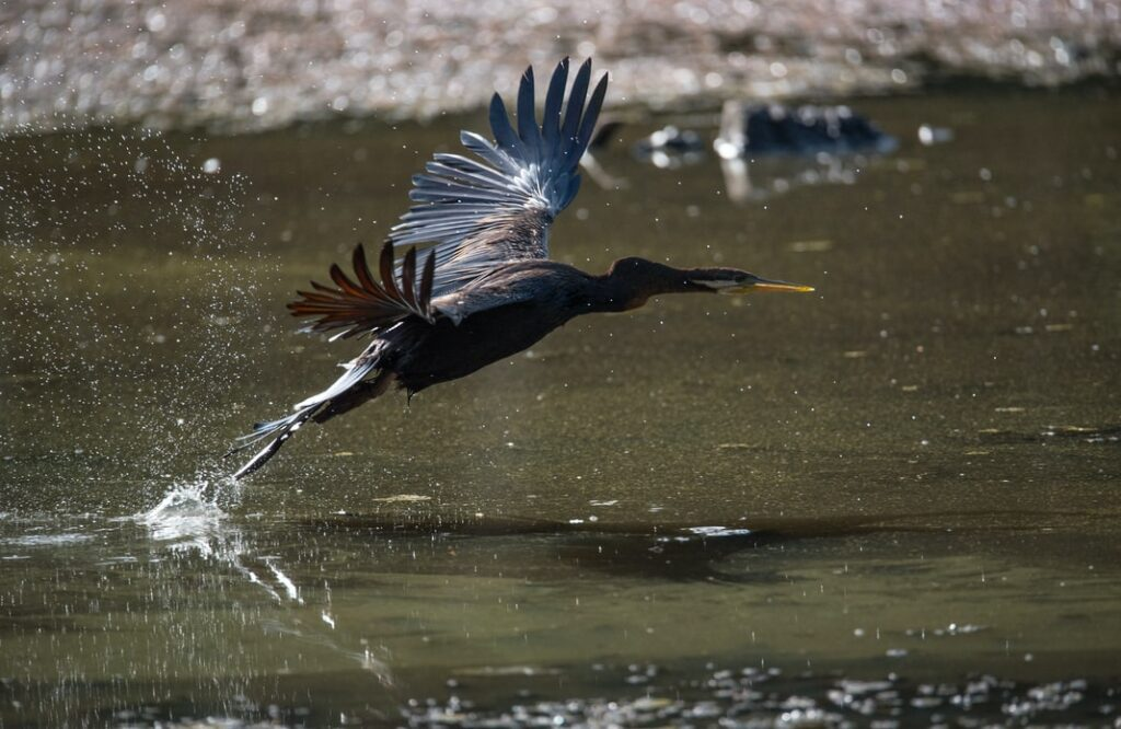 photo by David Clode of A Darter takes off and flies to another spot to try its luck fishing elsewhere. Freshwater Lake, Cairns, Australia.